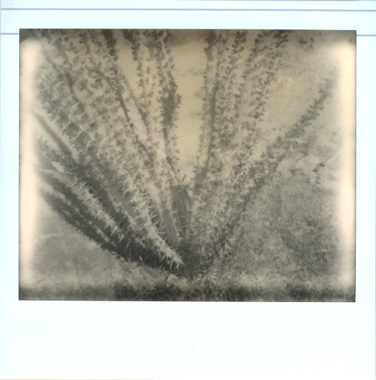 ocotillo cactus - Impossible PZ 600 Silver Shade Cool shot with Polaroid Spectra