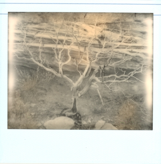 Manzanita tree - Impossible PZ 600 Silver Shade Cool shot with Polaroid Spectra