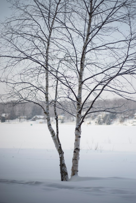 Birch tree with Big Twin Lake in the distance.