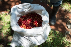 A bag of fruit (cherry or berry) of the coffee plant.