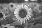 sunflower field in Yellow Springs